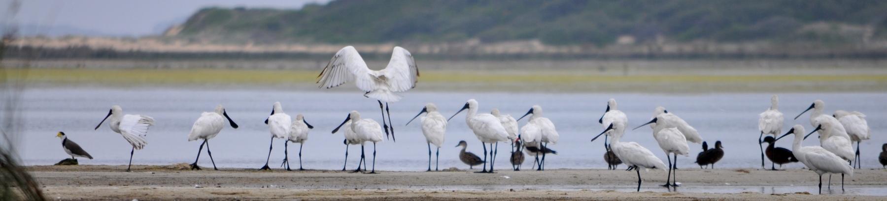 Lake Wollumboola Birdlife Australia Summer Bird Count January 2018